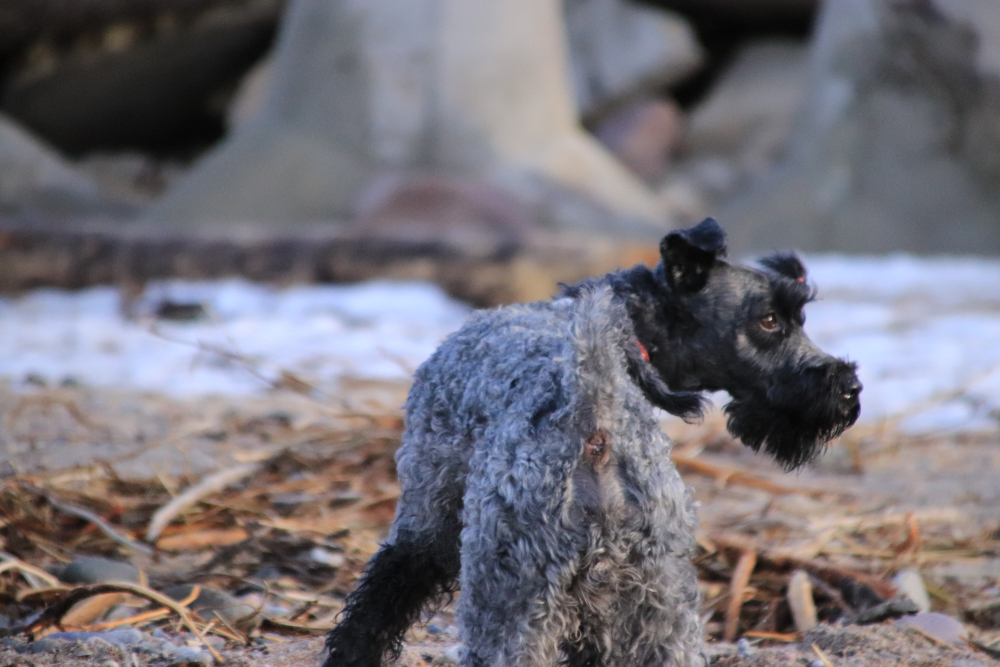 Dog breed Kerry blue Terrier for a walk.