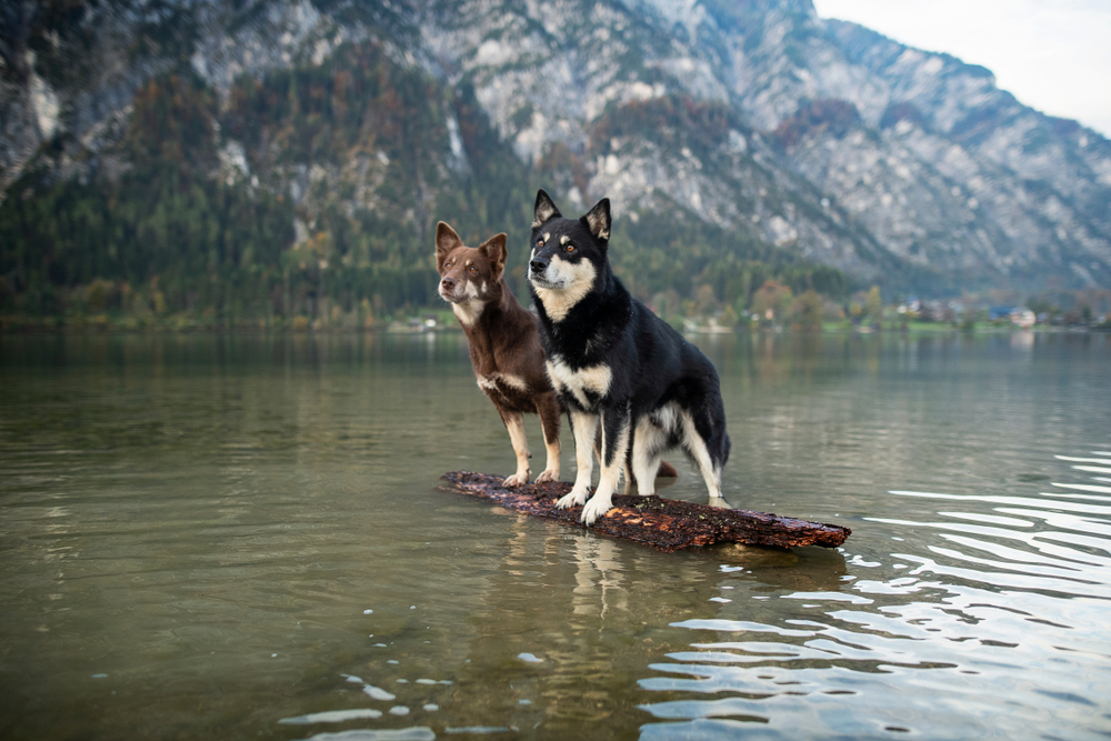 Two dogs are posing together in beautiful scenery. Lapinporokoira at a float. Two dogs at a float  between the mountains.