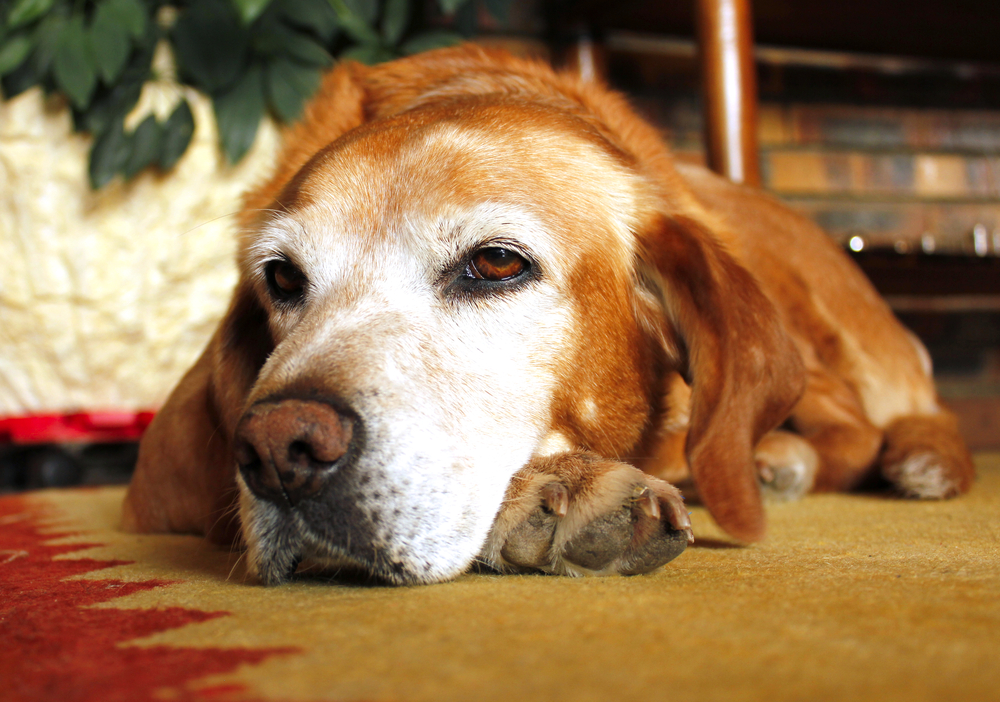 Old dog with sad expression in white face