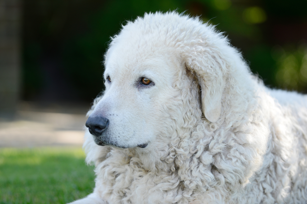 head from dog Kuvasz in the garden