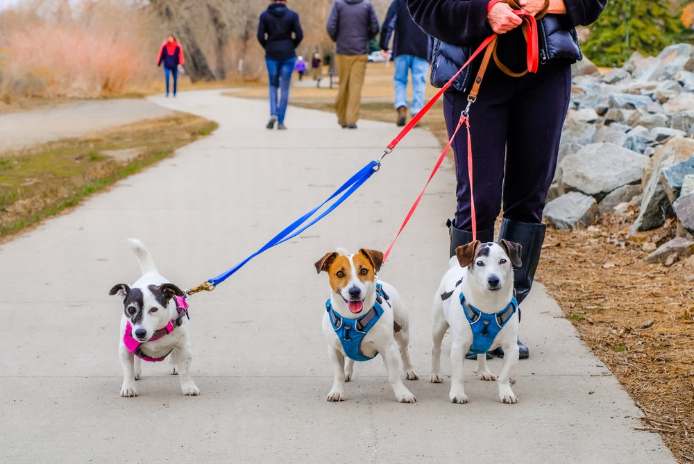 Partial view of senior woman taking three small dogs for a walk; dogs looking into camera