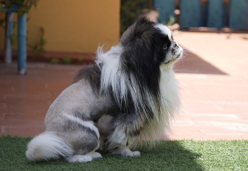 beautiful haircut lion for dog