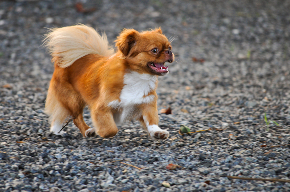 Golden Pekingese Puppy running on summer day