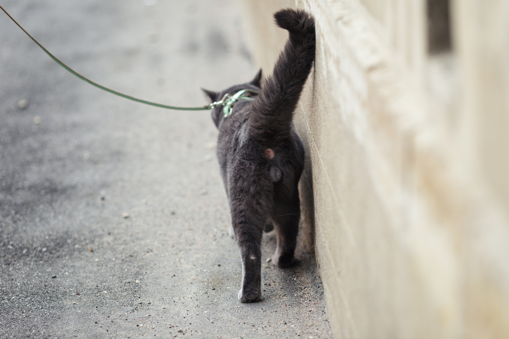 young british cat walking away, shallow depth of field