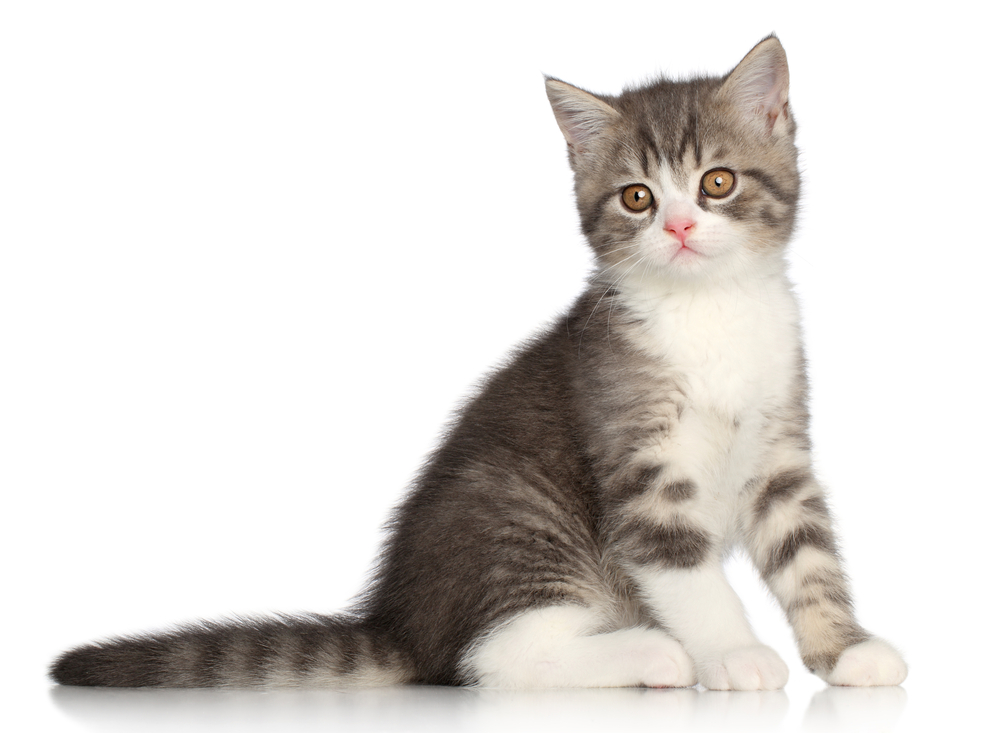 Scotish-Straight kitten sits on a white background