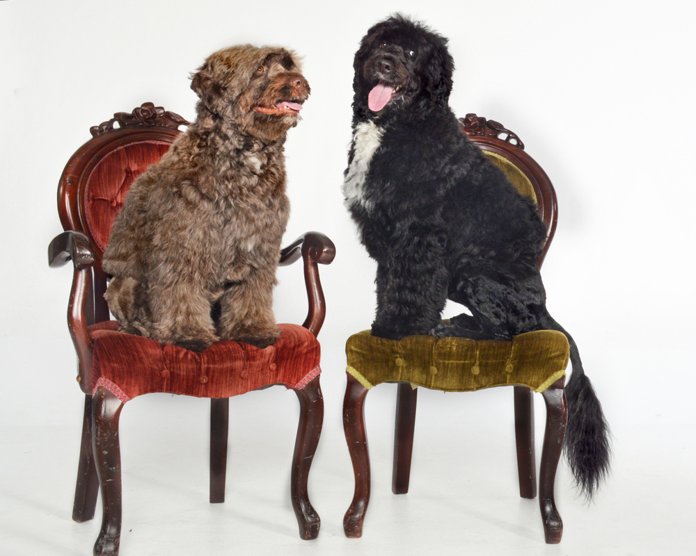 portguese water dogs sitting on chairs