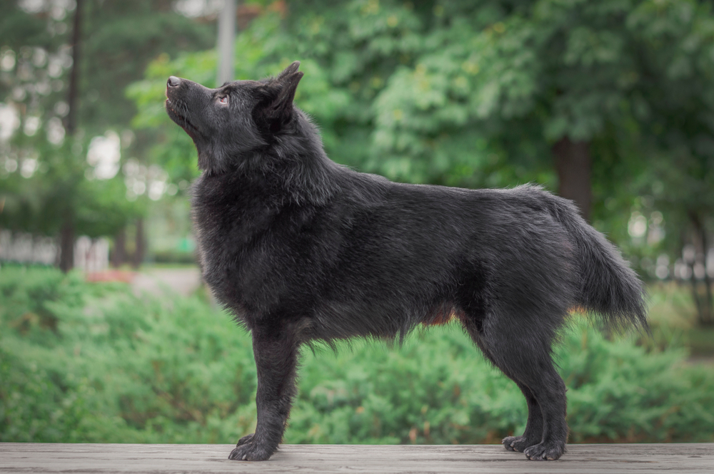 Schipperke show dog standing in the park and looking at his owner