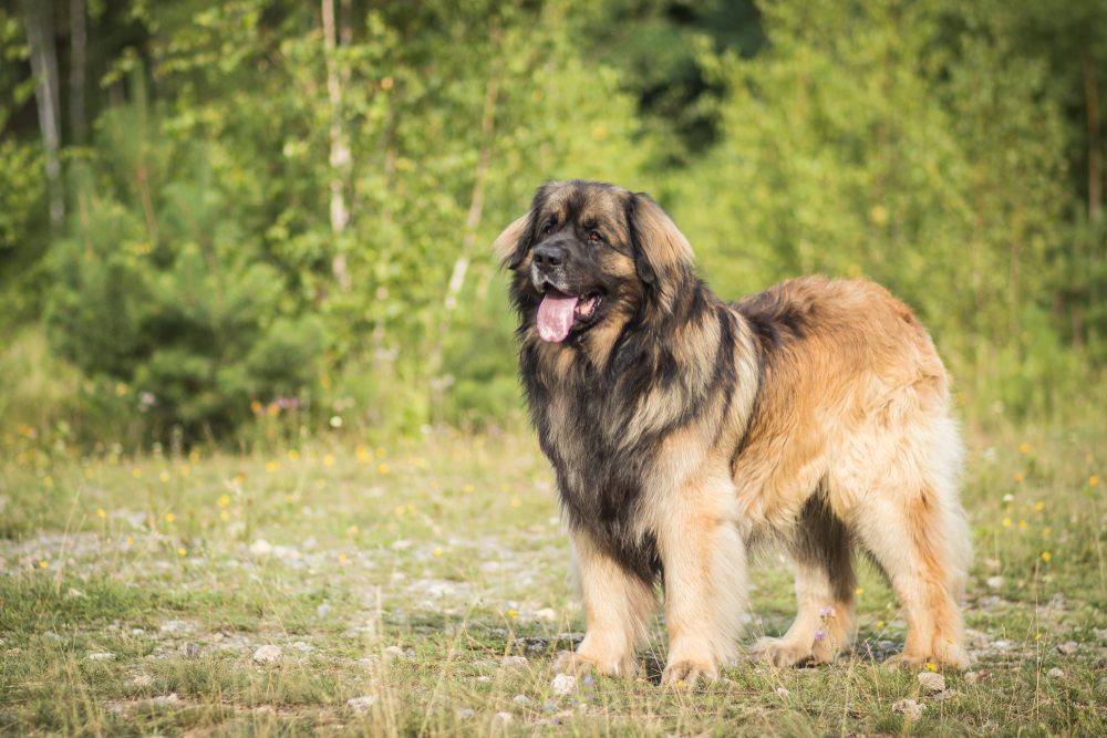 lovely and healthy leonberger posing