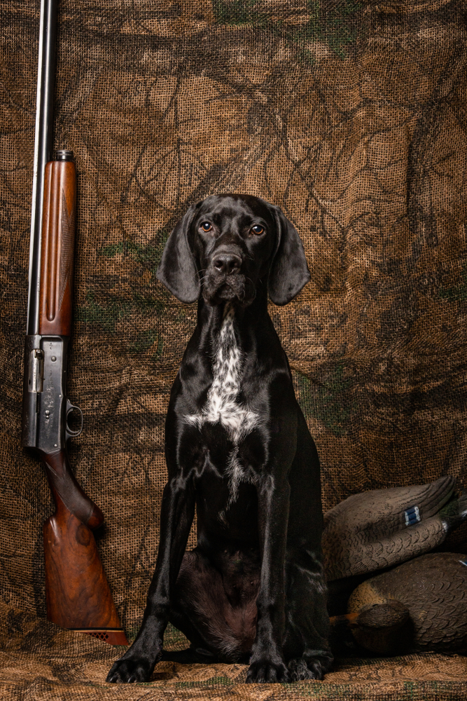 German shorthair sitting posed against a camo background with decoys and a antique shotgun stairing into the camera.