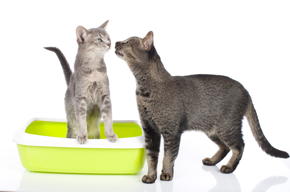 Cat sitting in litter box isolated, one cat beside