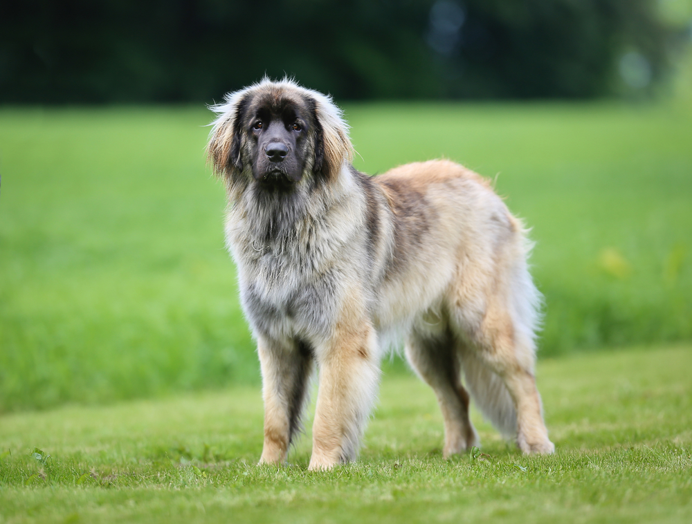 Beautiful purebred Leonberger dog photographed outdoors on a sunny summer day.