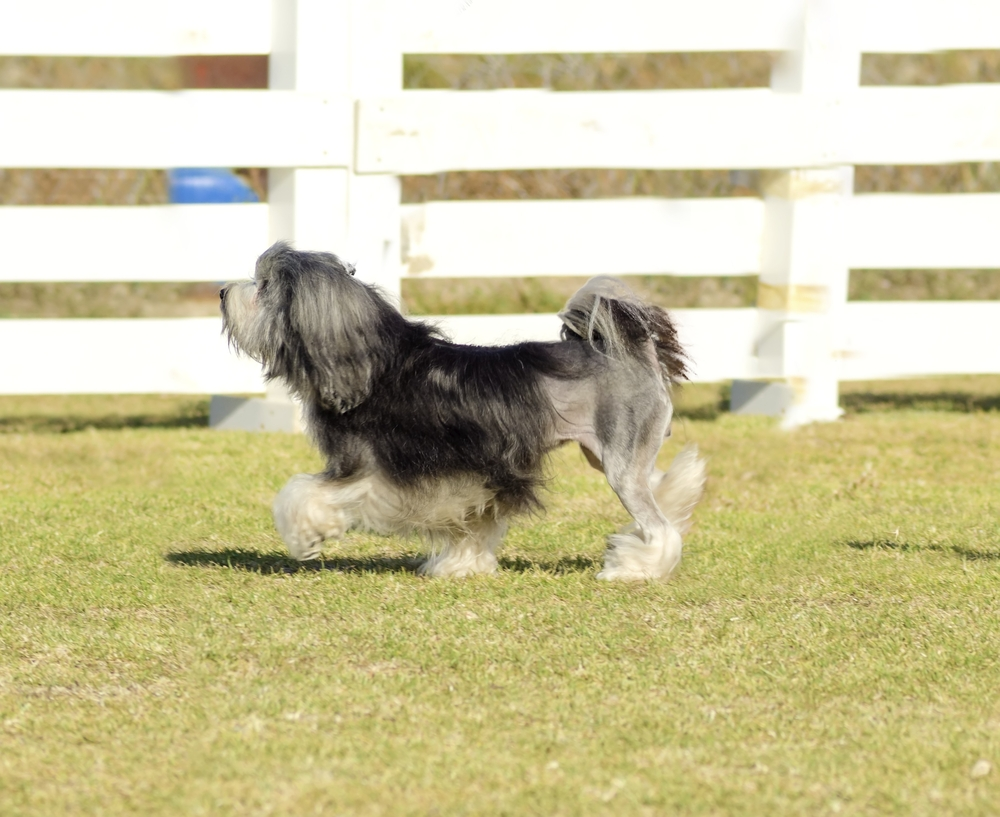 Profile view of a black,gray and white petit chien lion (little lion dog) walking on the grass.Lowchen has a long wavy coat groomed to resemble a lion,the haunches,back legs and part of the tail shave