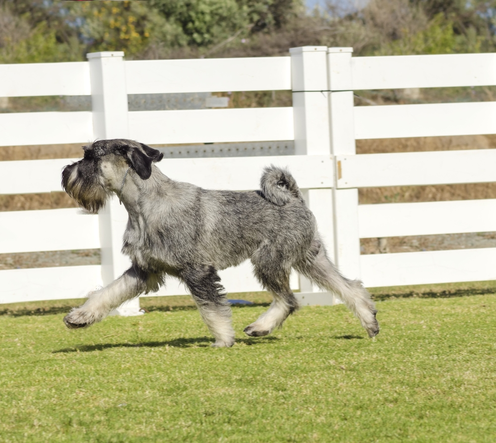 A young salt and pepper,gray Standard Schnauzer dog walking on the grass looking happy. Known for being an intelligent, loving, and happy dog and distinctive for its beard and long, feathery eyebrows