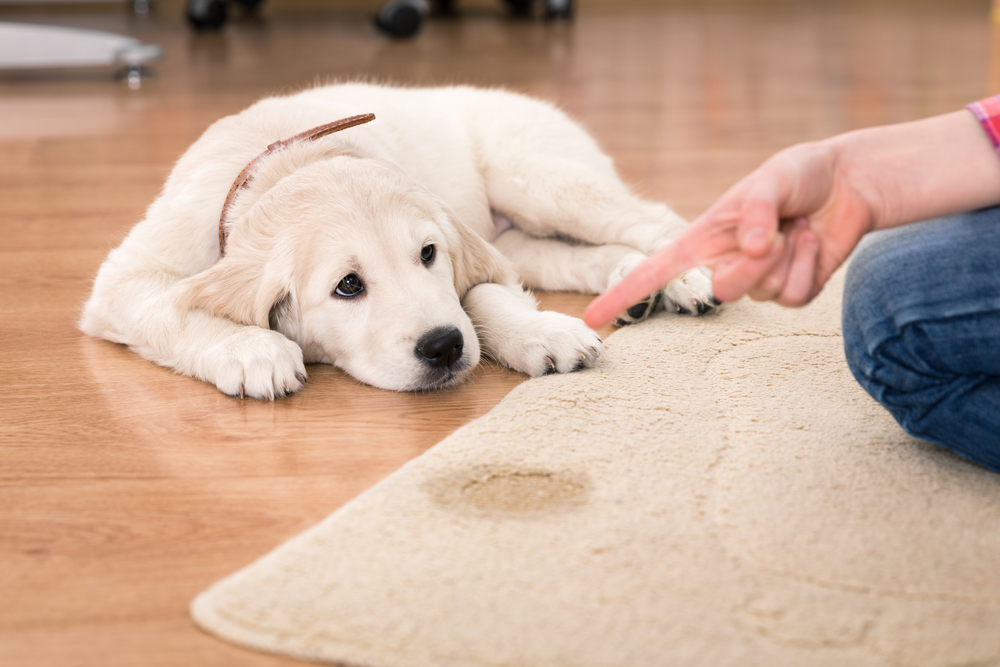 Golden retriever puppy looking guilty from his punishment