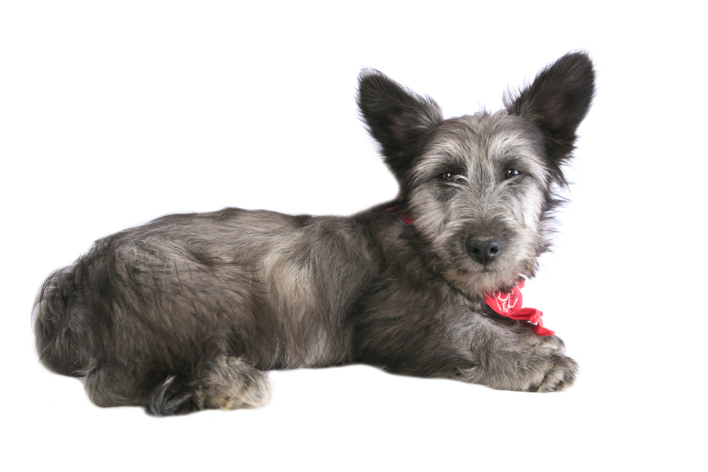 Cute Skye Terrier Pup with red bandana around neck