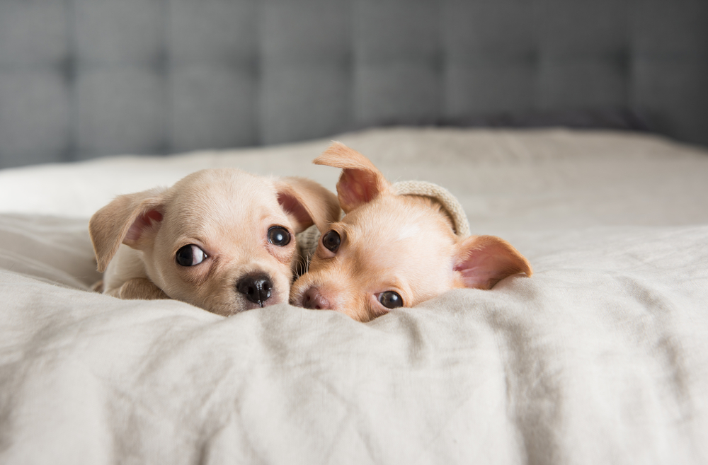 Tiny Chihuahua Puppies Falling Asleep on Owners Bed