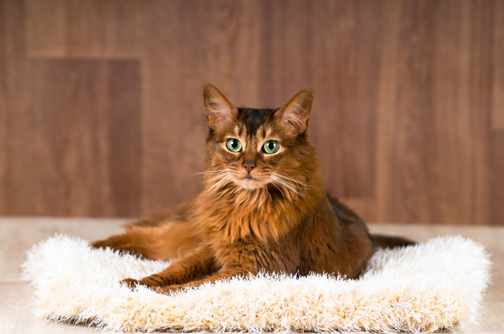 Somali cat portrait on fluffy bed lying and looking at camera
