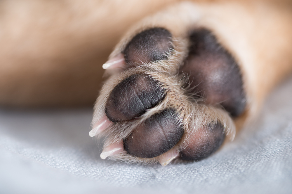 Close Up of Light Colored Puppy Paw