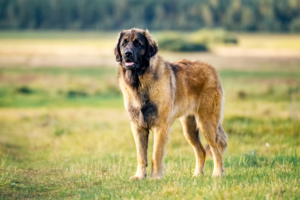 Leonberger dog in nature