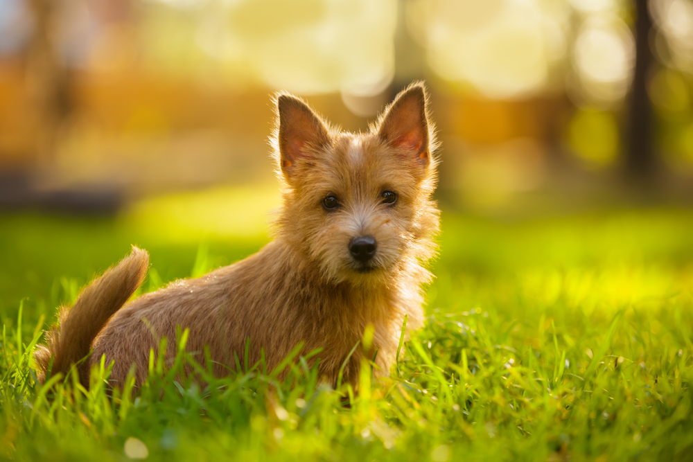 Norwich Terrier puppy sitting in the grass in summer outdoor background