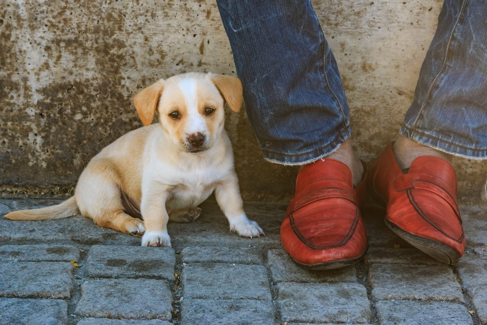 Couple of weeks old puppy sitting by the owners feet