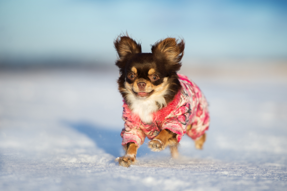 happy chihuahua dog running in the snow
