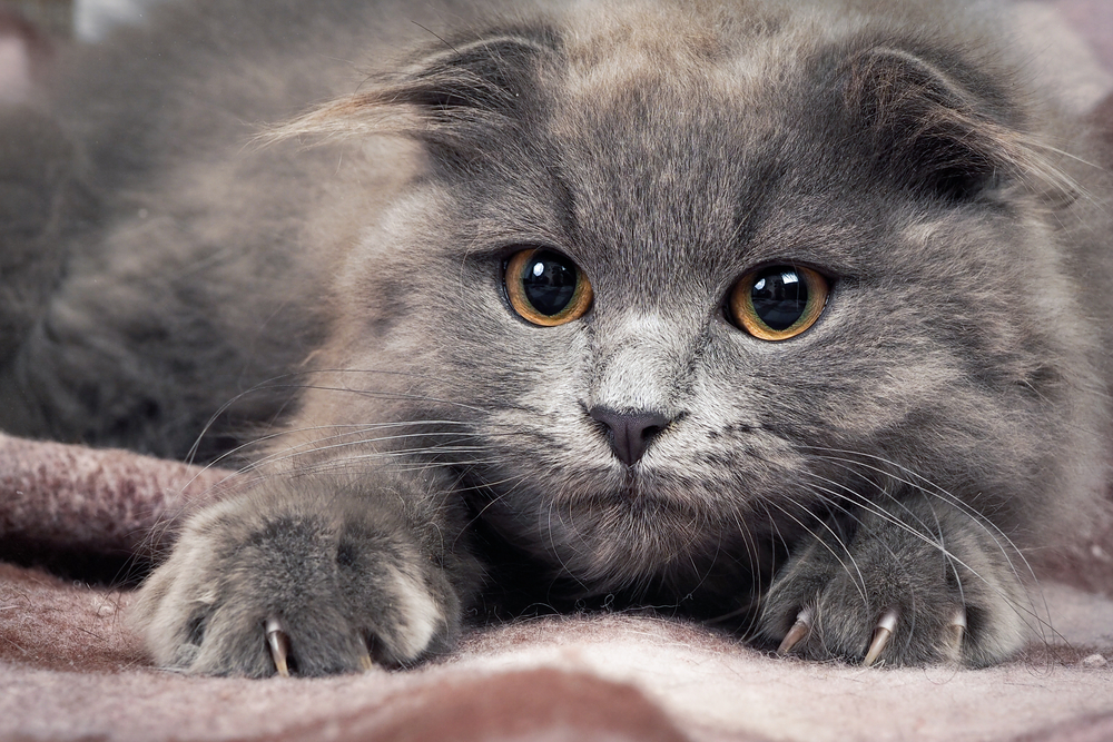 Grey kitten with sharp claws, a round yellow eyes and tufts on the ears