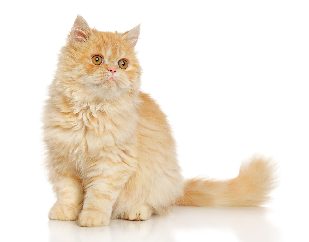 Persian cat sits in front of white background
