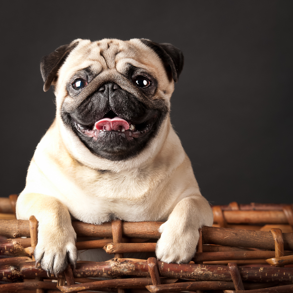 pug in a basket