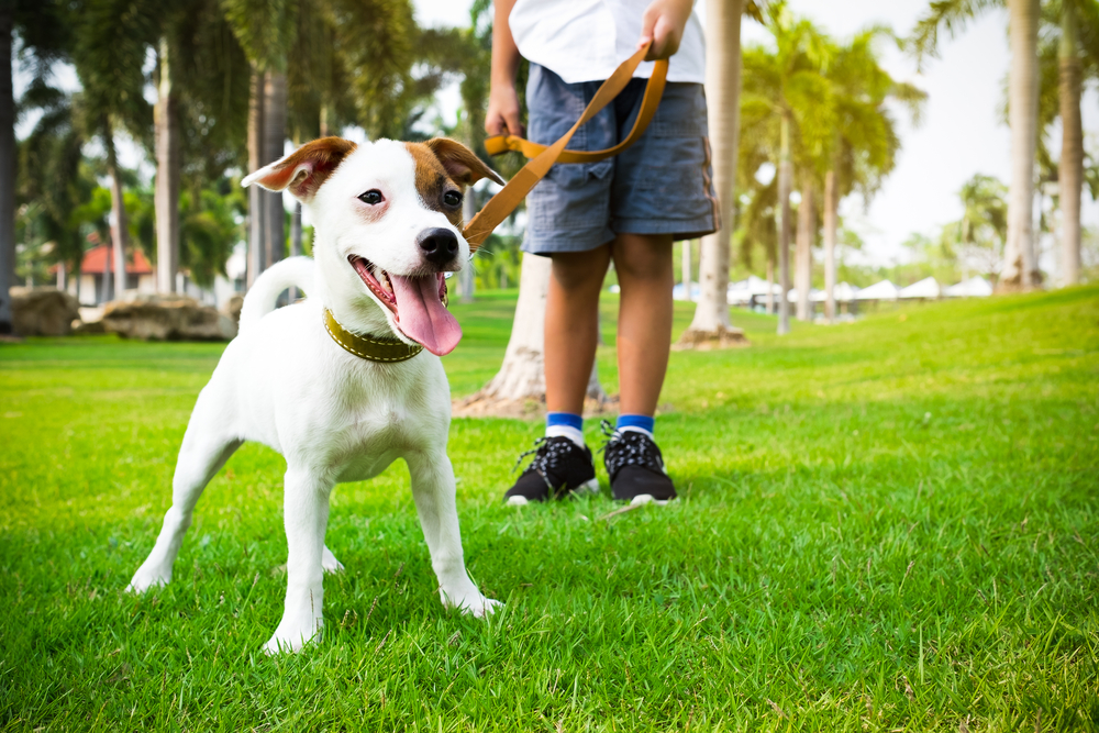 jack russell dog with owner and leather leash ready to go for a walk