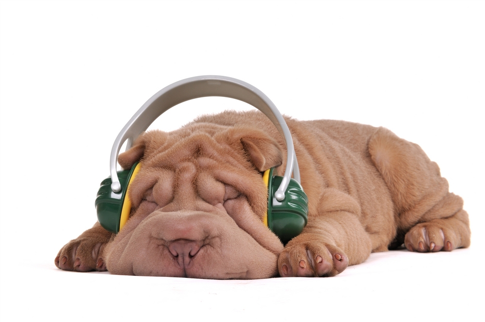 Dreaming Shar-Pei Puppy, listening to music with headphones, isolated