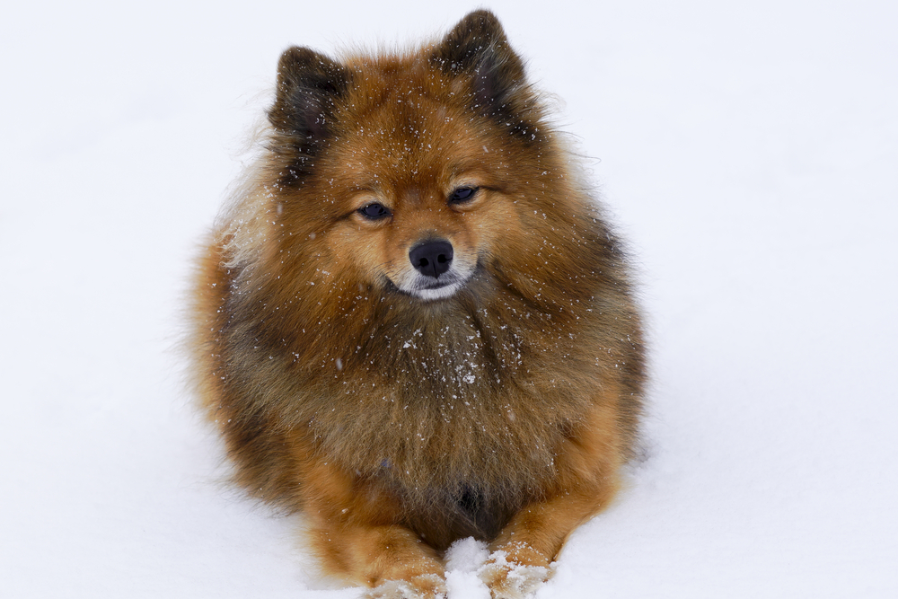 the little dog is sitting or standing on the white snow,breed German Spitz, closeup