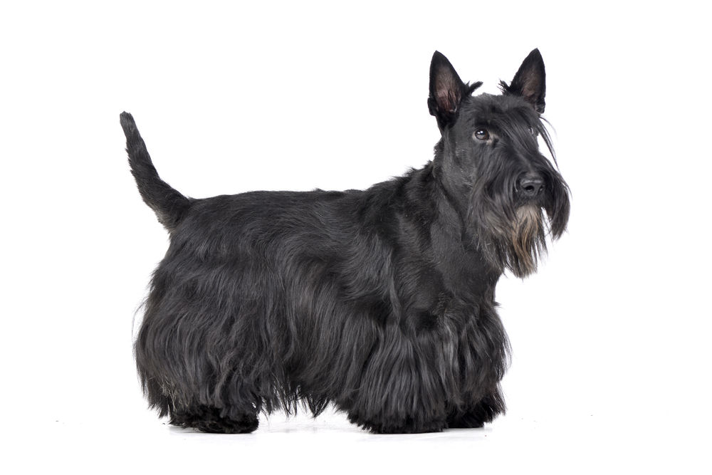 Studio shot of an adorable Scottish terrier standing on white background.
