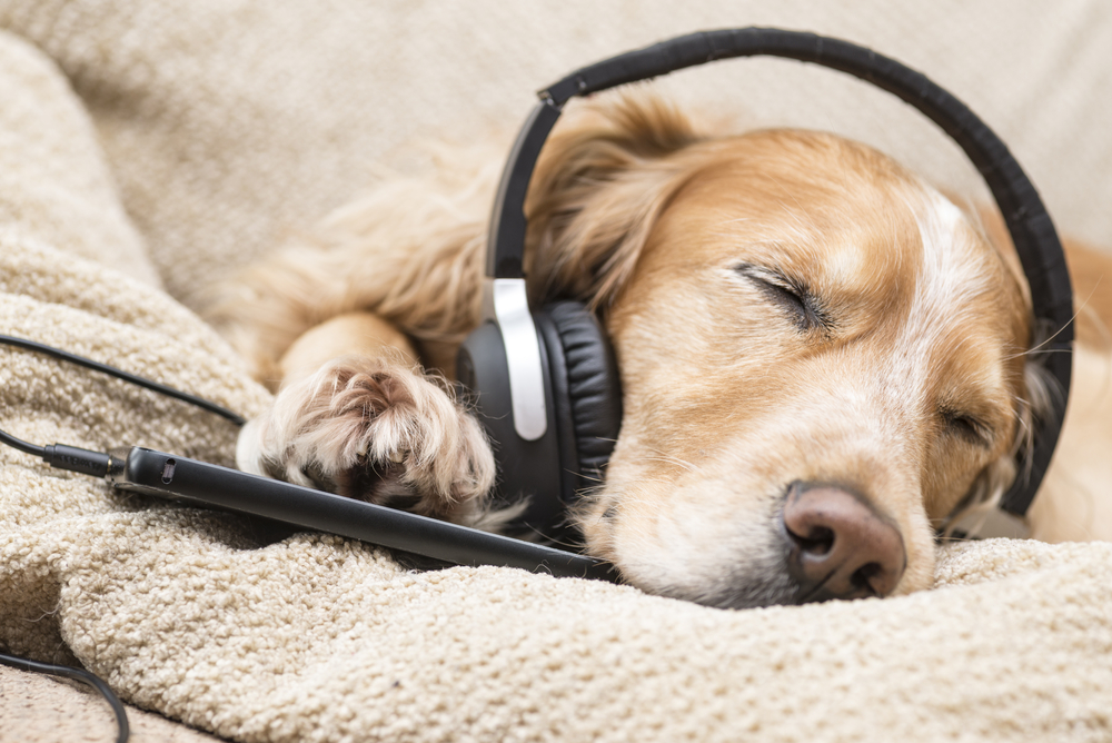 Dog listening to music mobile phone