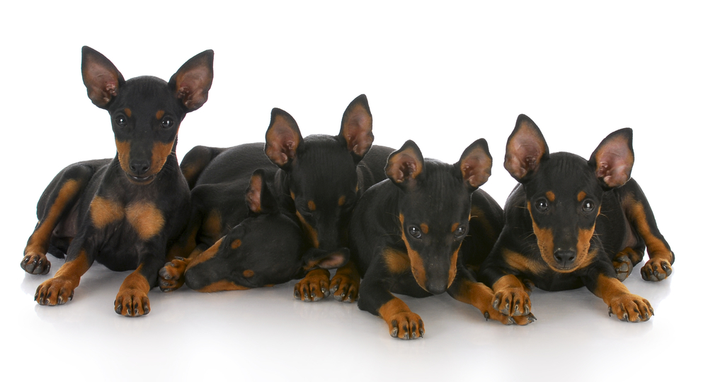 litter of toy manchester terrier puppies with reflection on white background