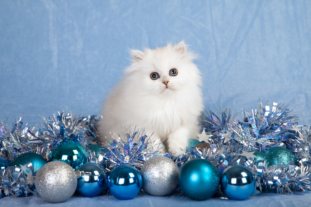 Silver Chinchilla Persian kitten with silver blue Christmas decorations
