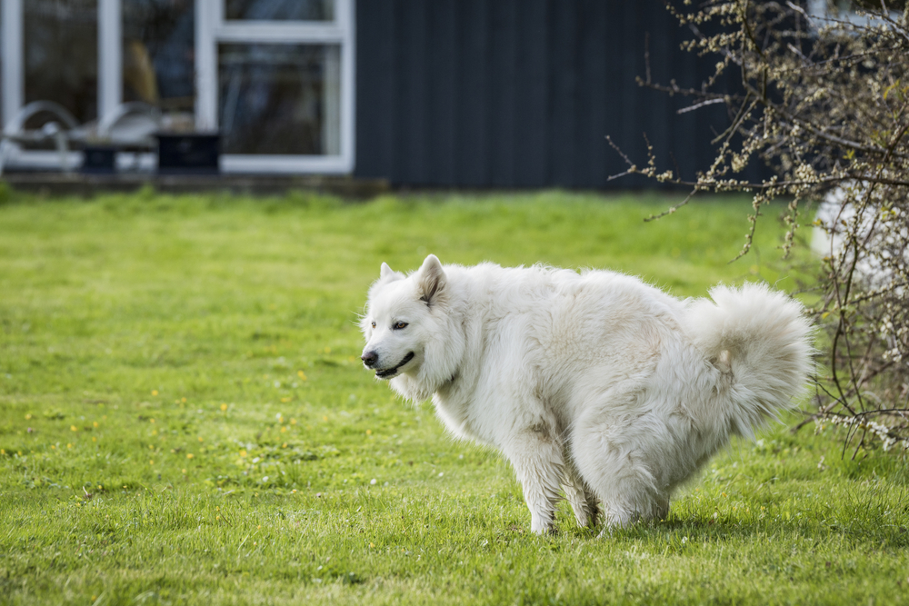 Samoyed dog taking a dump on a green lawn in a garden with a house in the background in the spring