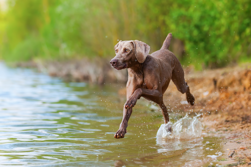 picture of a Weimaraner dog running in a lake