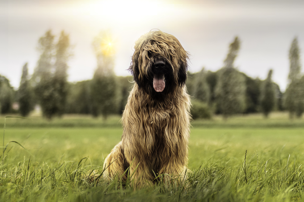 Nine month old Briard dog sits in the grass!