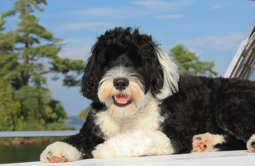 Portuguese Water Dog laying on the bow of the boat on the lake
