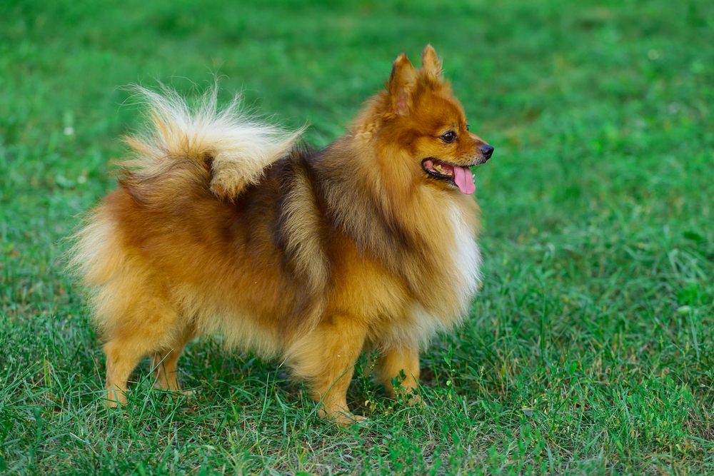 German Spitz.Beautiful German Spitz dog. German Spitz n the park on a background of green grass.The command to sit, lie, beg