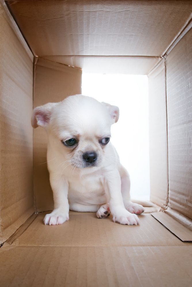 Sad puppy into cardboard box. Sadness, loneliness, socialization problems and shelter theme