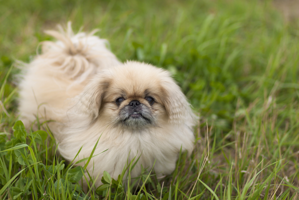 Dog Pekingese walks in the park in the summer on a cloudy day