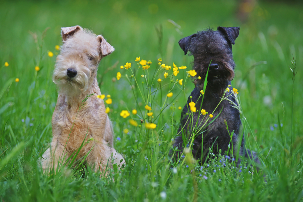 Red and blue Lakeland Terrier dogs sitting outdoors on a green grass with yellow flowers