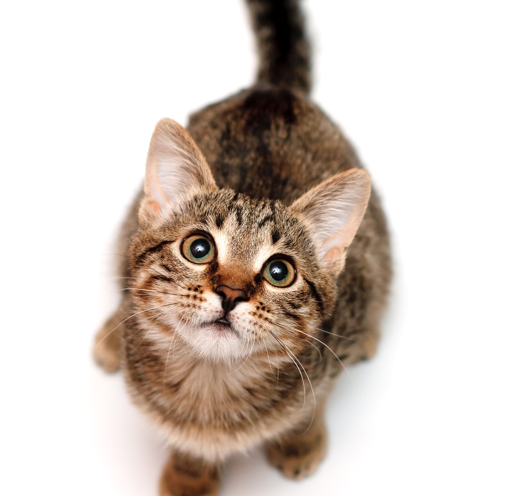 Kitten sits and looks upwards on white background