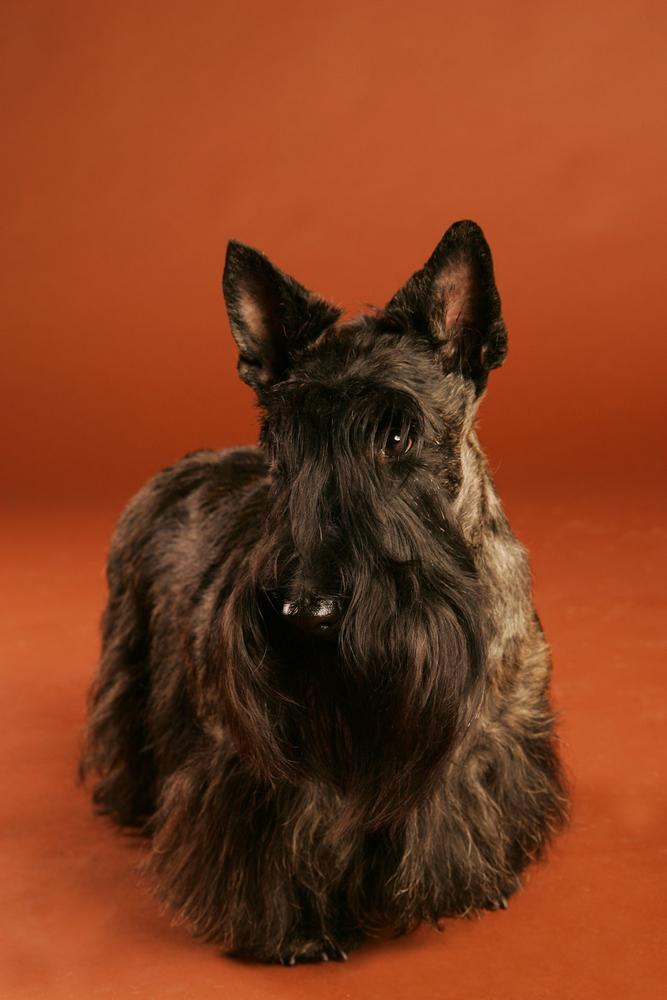 scottish terrier closeup isolated on brown studio background