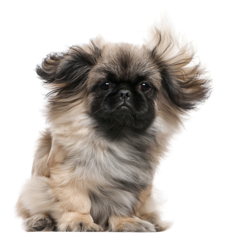 Pekingese puppy with windblown hair, 6 months old, sitting in front of white background