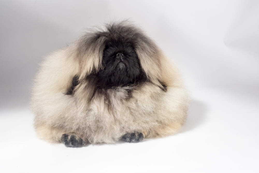 Pekingese puppies on white background