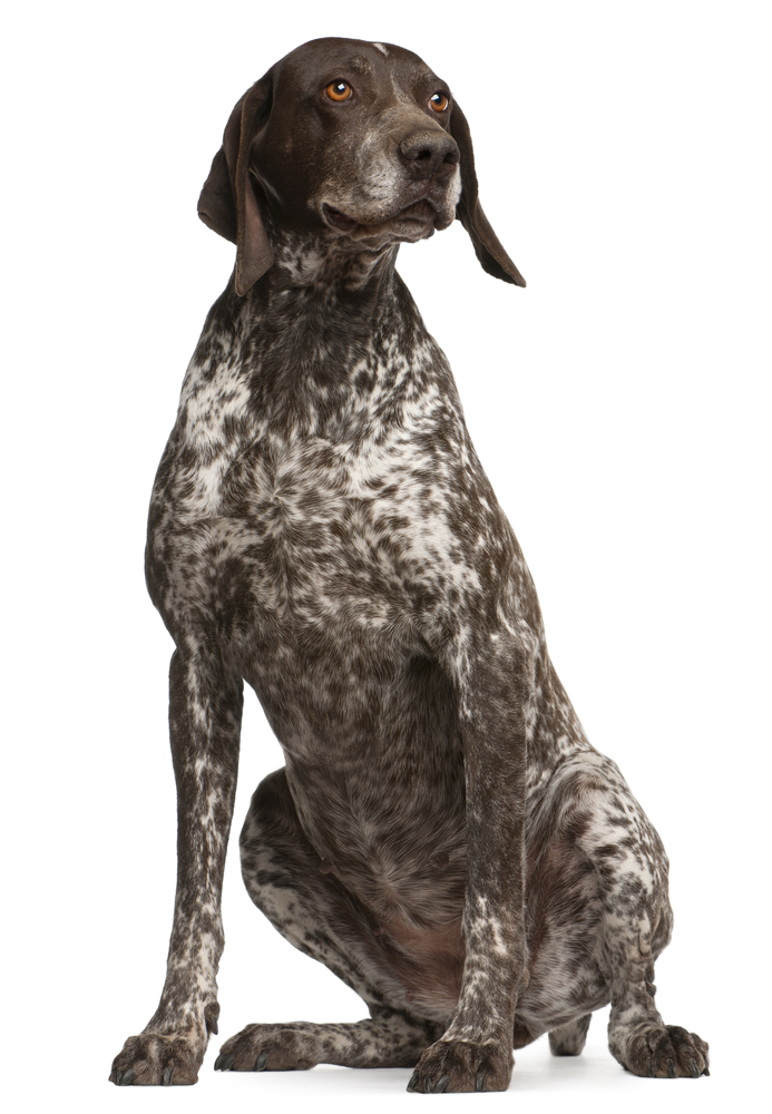 German Shorthaired Pointer, sitting in front of white background