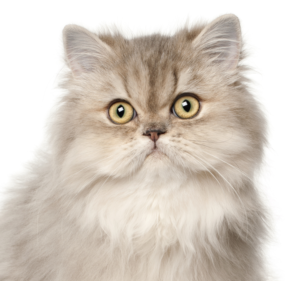 Persian cat, in front of white background